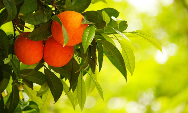 Pétales d'oranger sélection vente en gros