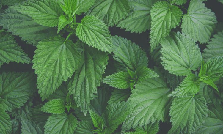 ortie piquante plante grossiste