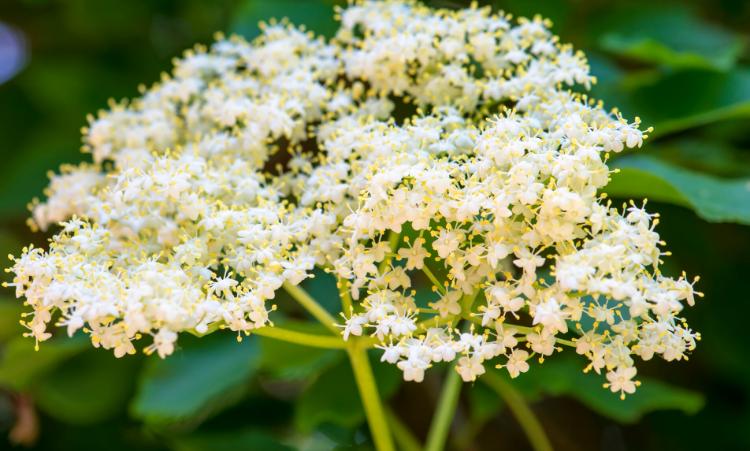Sureau fleurs grossiste