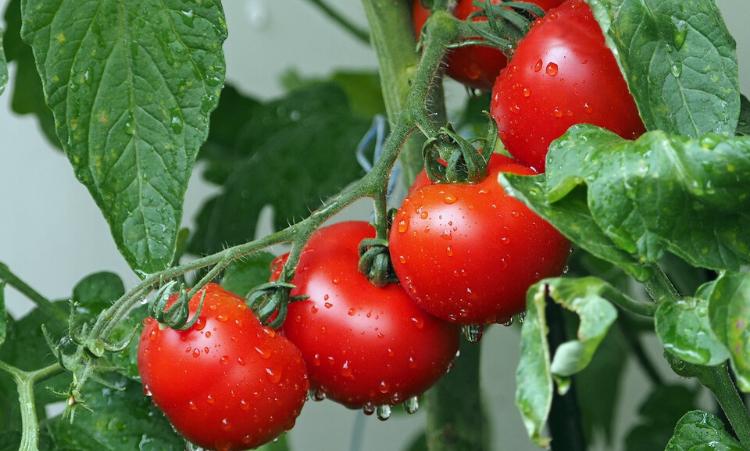 grossiste tomate