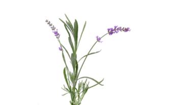Lavandin fleur