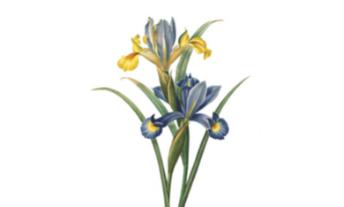 Racine d'iris