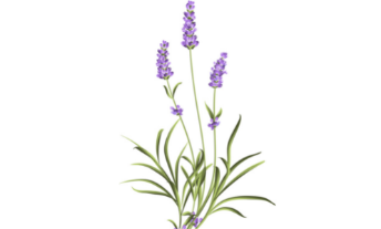 lavande fleur bleue