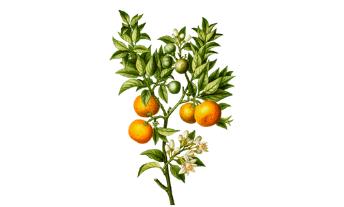 Pétales d'oranger